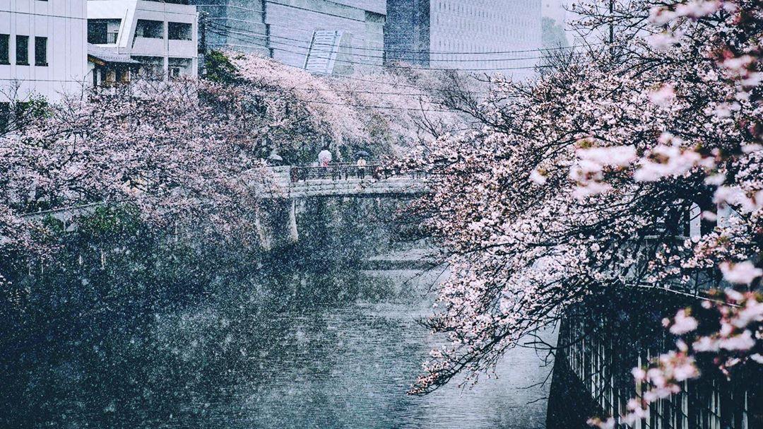 Cherry Blossom in Snow Meguro River