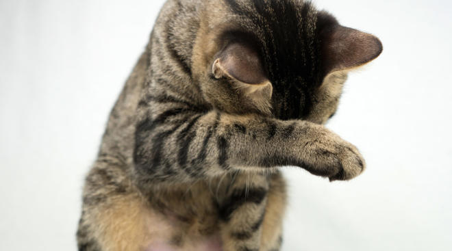cat covering face with paw