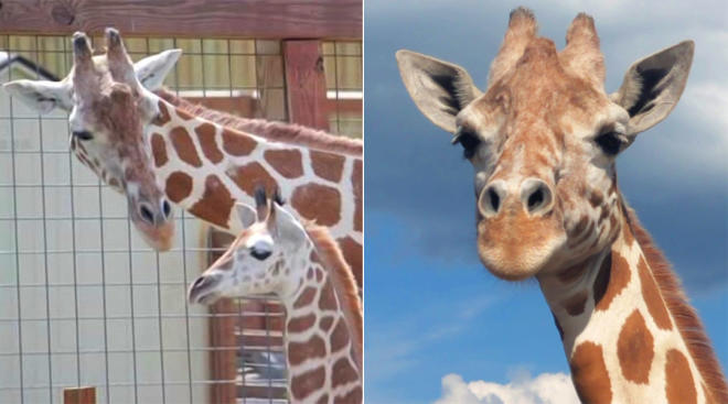 april the giraffe is pregnant for the second time