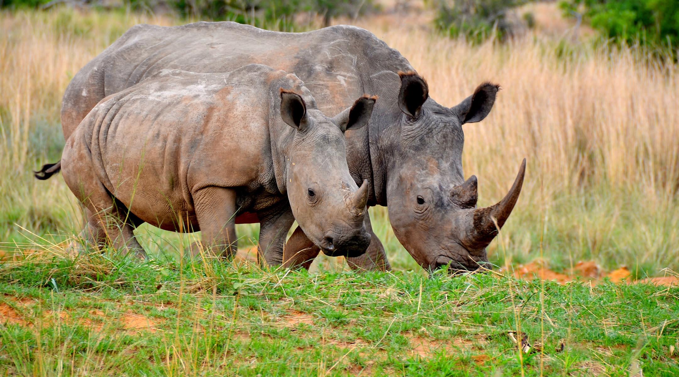rhino with smaller rhino walking outdoors