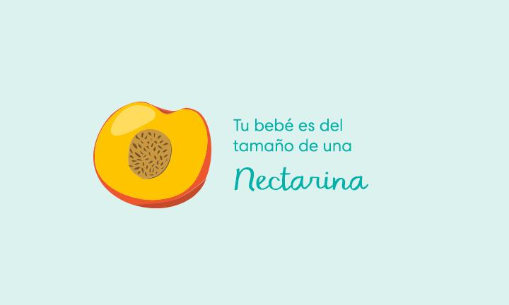 Tu bebé es del tamaño de una nectarina