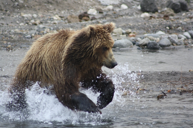 Brown Bears in Kamchatka