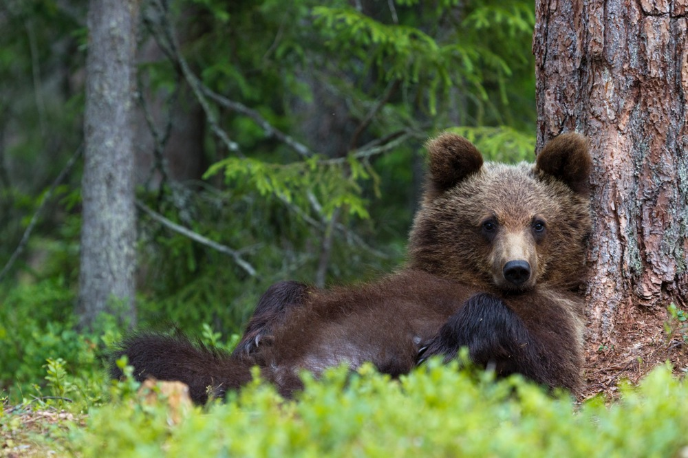 Finland_Bears_50DegreesNorth