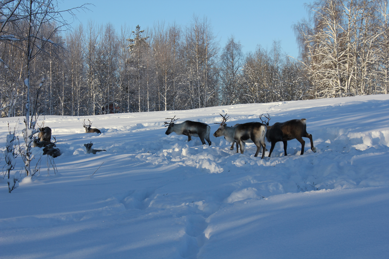 reindeer at treehotel web
