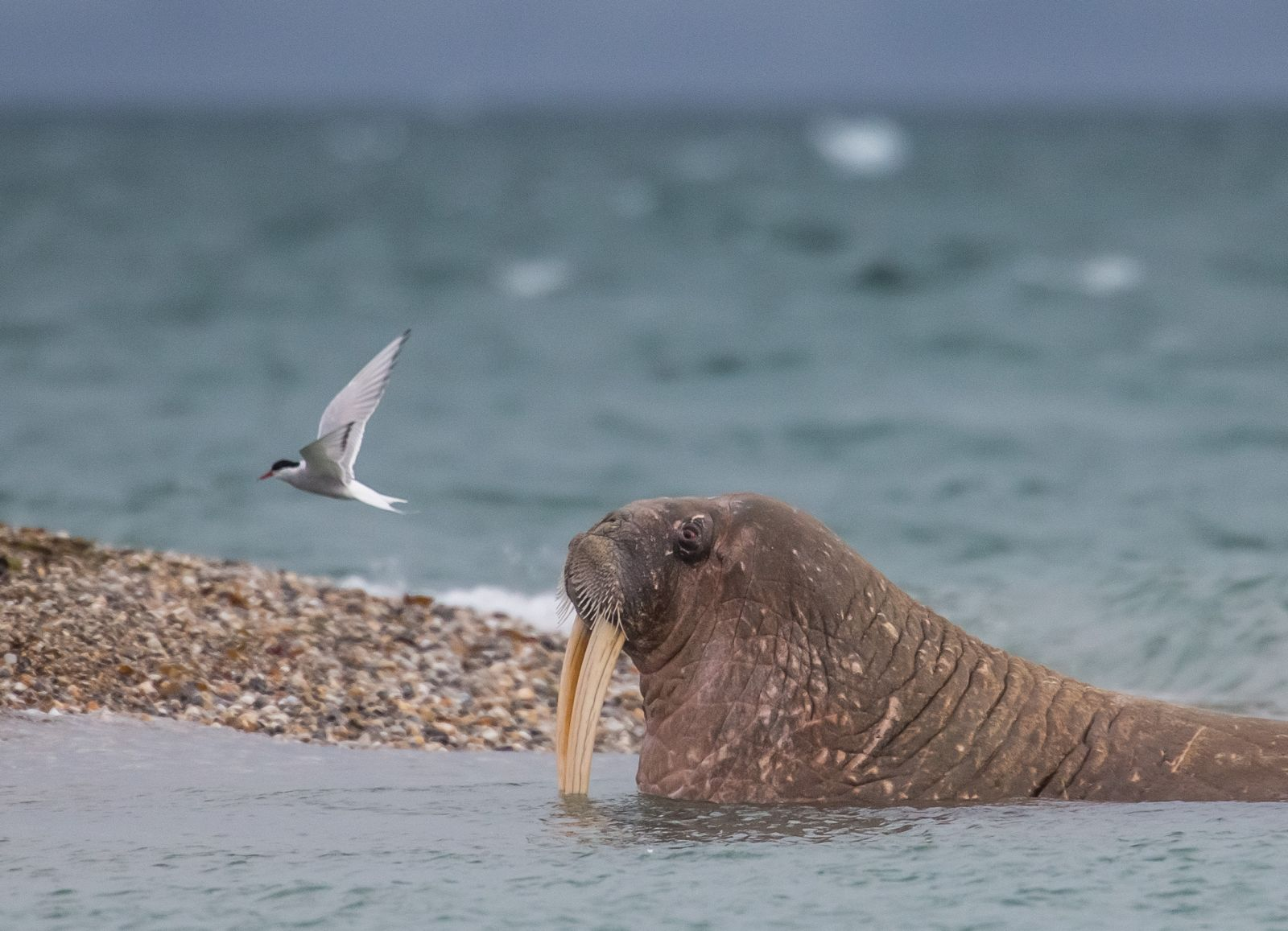 Arctic expeditions to search for Walrus