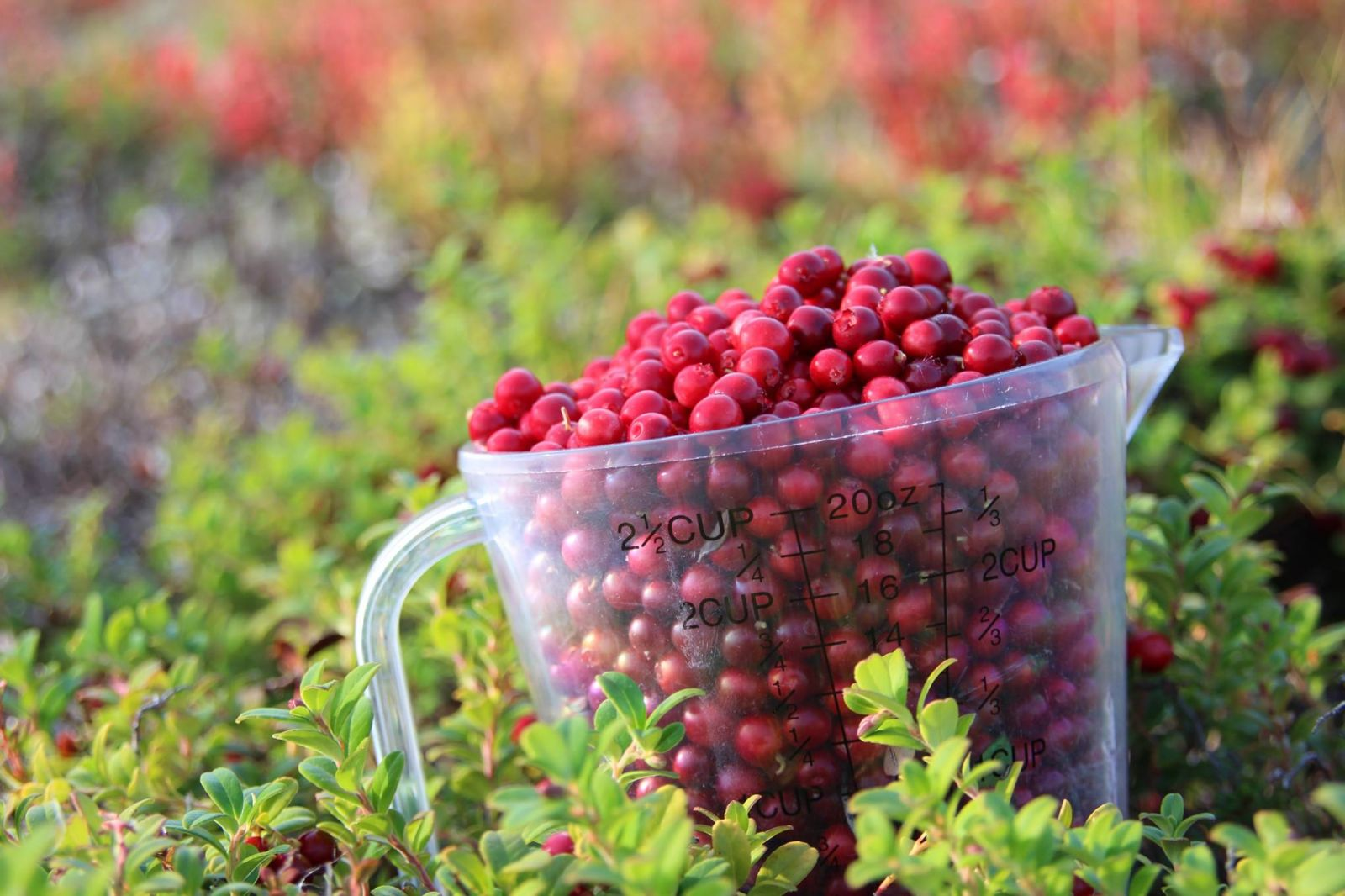 Berry picking in Scandinavia