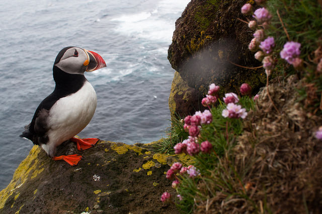 Puffins at