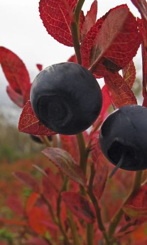 Kakslauttanen Autumn Wild blueberries