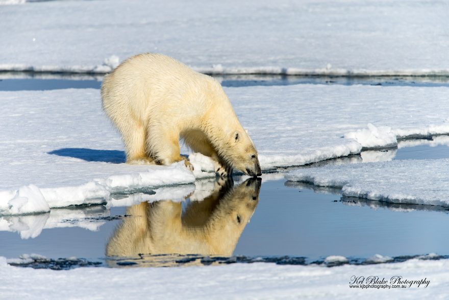 Polar Bears - Russian Northern Sea Route