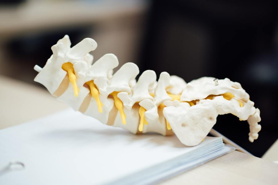 Model of a section of a spine, representing chiropractic practice.