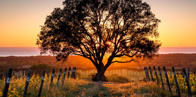 Bolgheri vigneti al tramonto