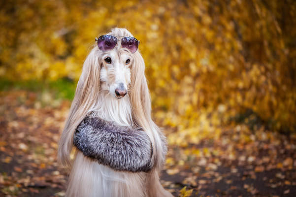 Canva - Stylish, fashionable dog, Afghan hound in a fur Manto and sunglasses against the background of the autumn forest. Pet shopping concept for dogs