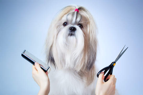 Canva - Shih tzu dog grooming