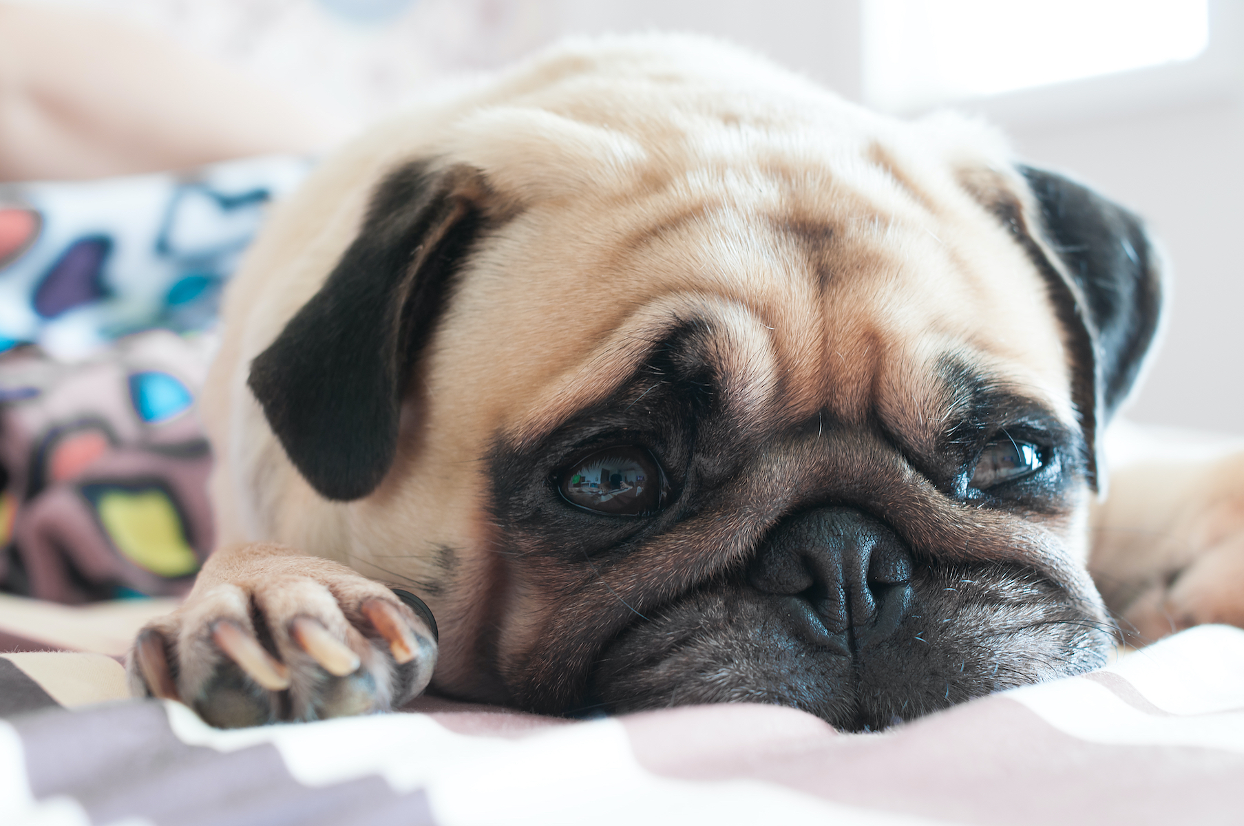Canva - Cute pug puppy dog sleeping on the bed