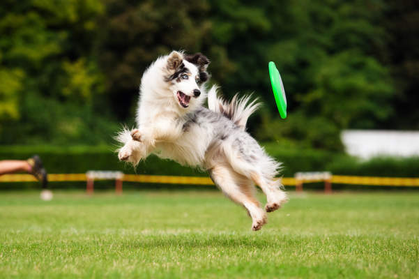 Canva - Border collie dog catching frisbee in jump