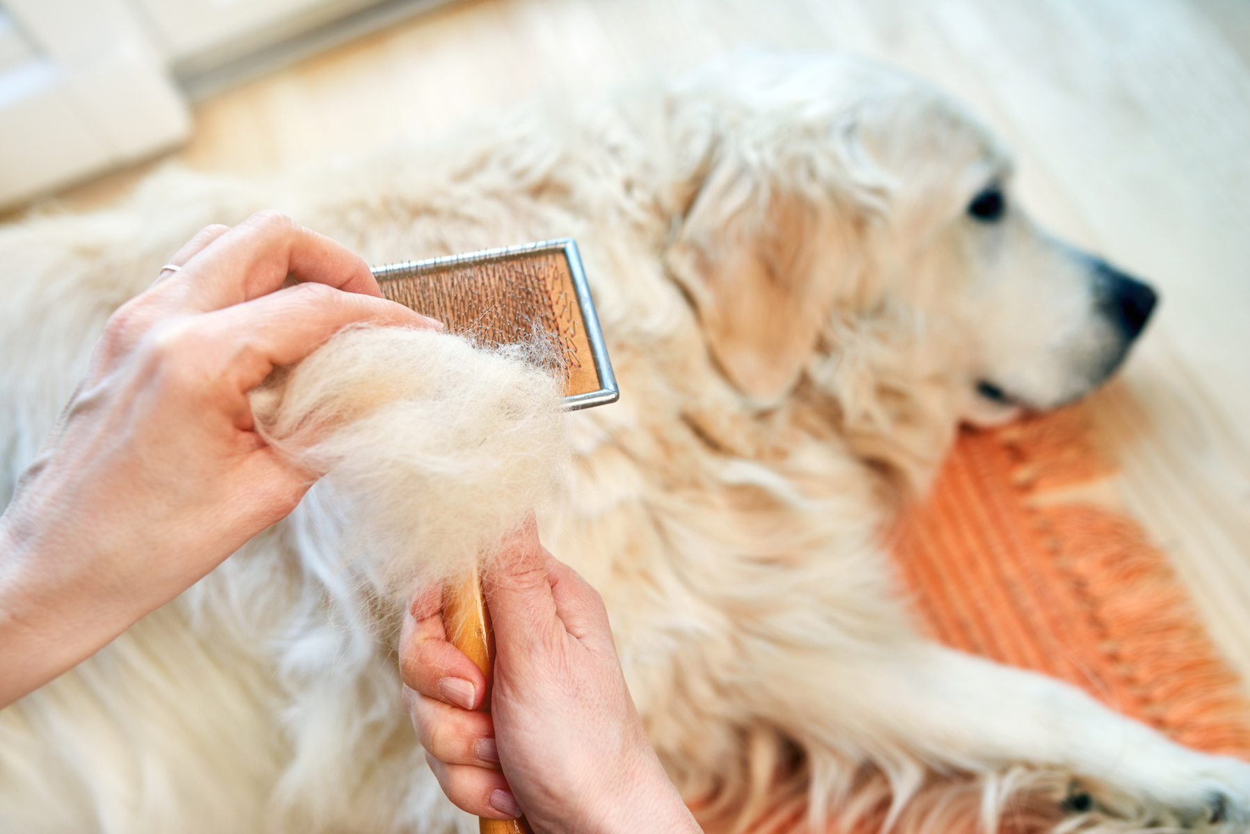 Canva - Woman combs old Golden Retriever dog with a metal grooming comb