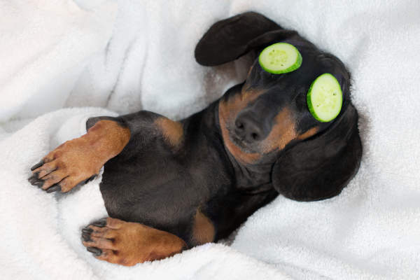 Canva - dog dachshund, black and tan, relaxed from spa procedures on face with cucumber, covered with a towel