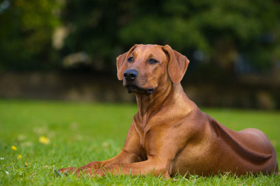 Canva - Beautiful dog rhodesian ridgeback puppy