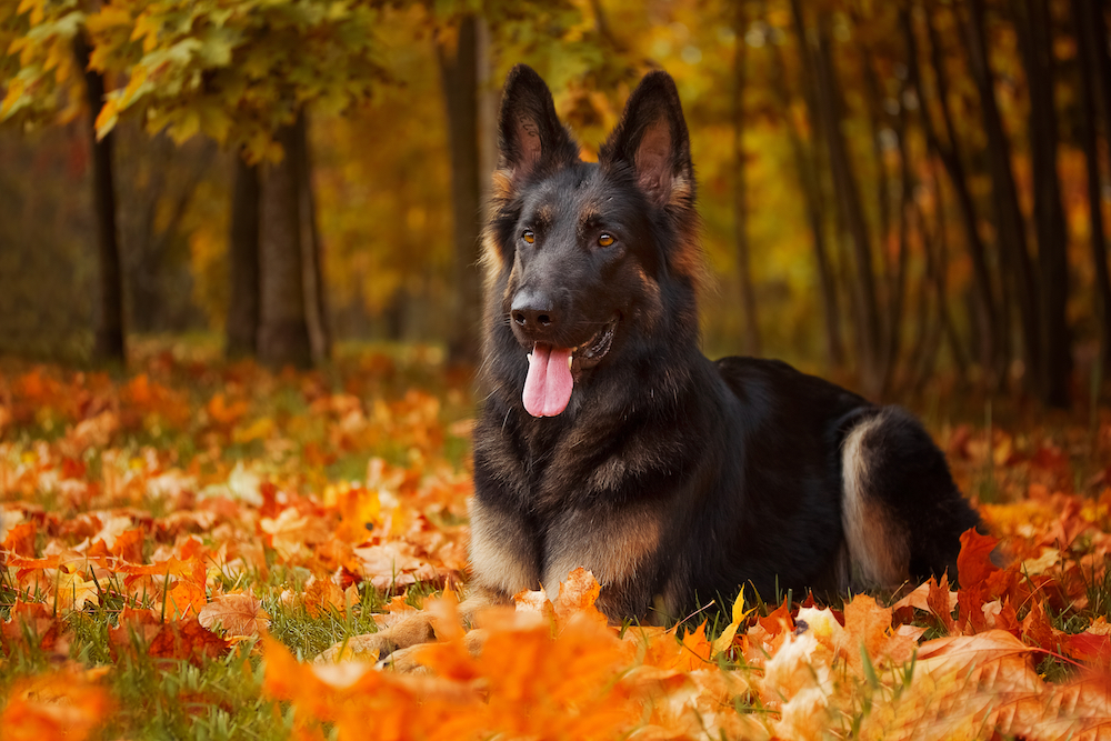 Canva - Autumn portrait of a German Shepherd