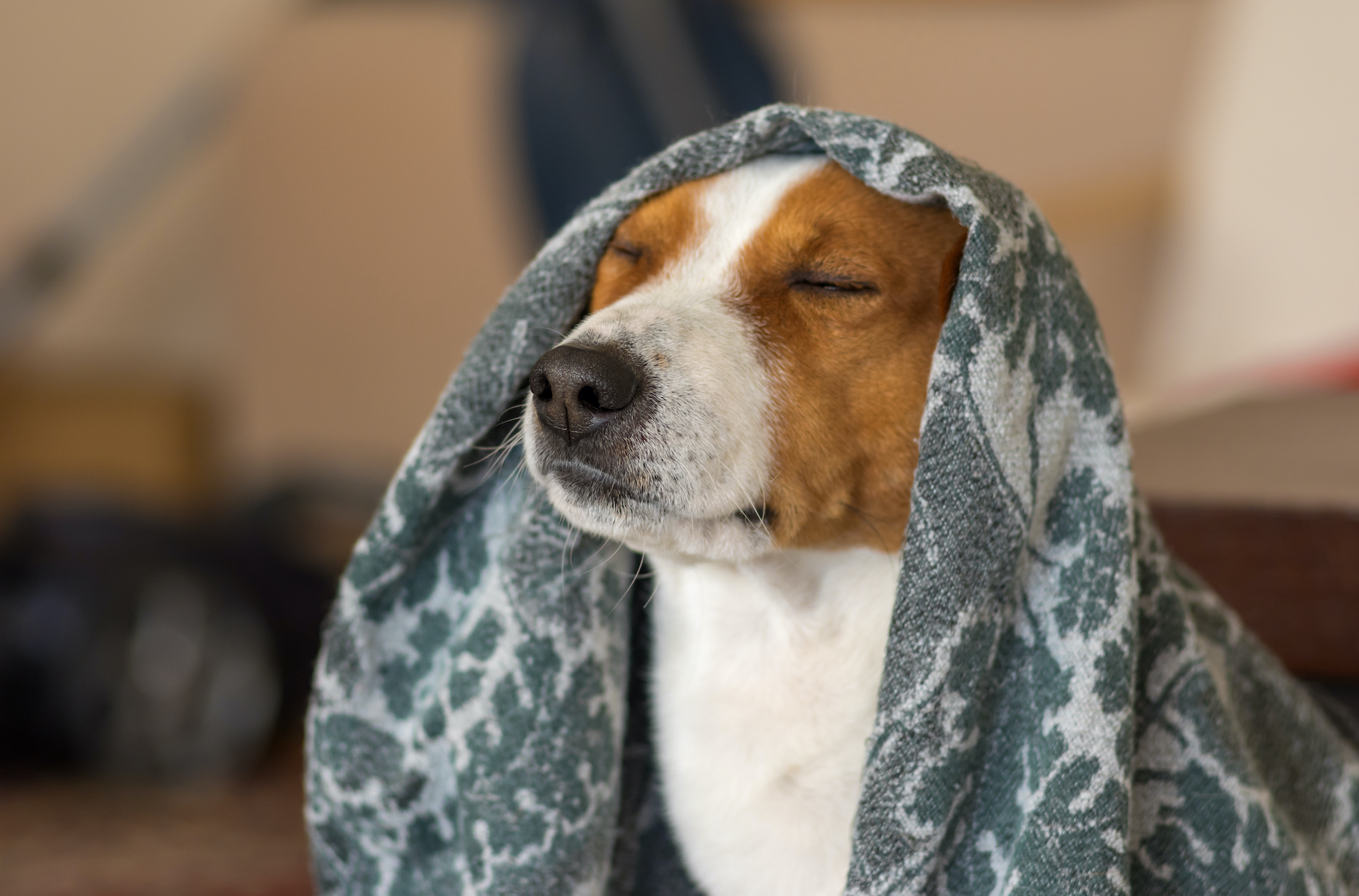 Canva - Indoor portrait of royal basenji dog meditating under coverlet