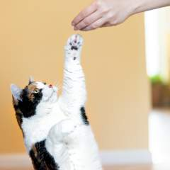 Can You Teach Cats Tricks? The Ins And Outs Of Training Your Feline Friend