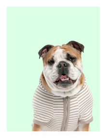 Bulldog in a striped shirt
