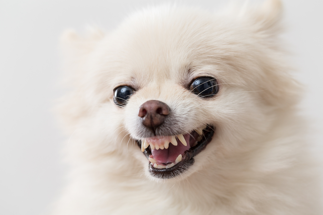Canva - Angry White Pomeranian Dog