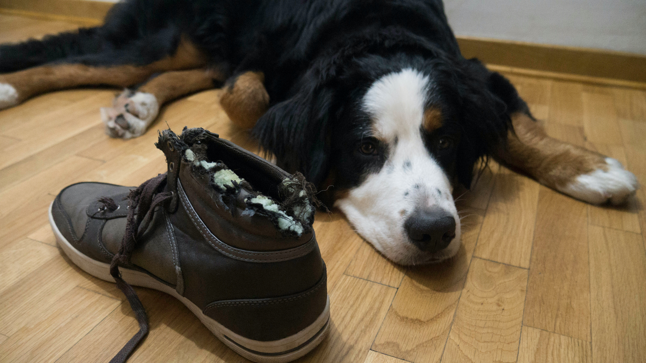 Canva - Bernard mountain dog lying next to chewed shoe