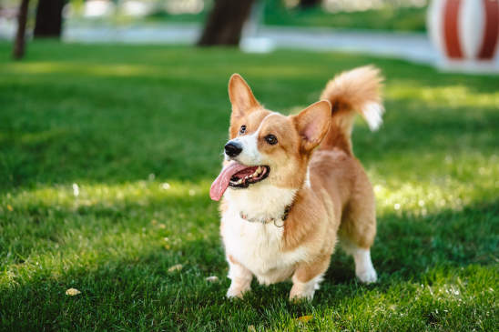 Canva - Happy and Active Purebred Welsh Corgi Dog Outdoors in the Grass