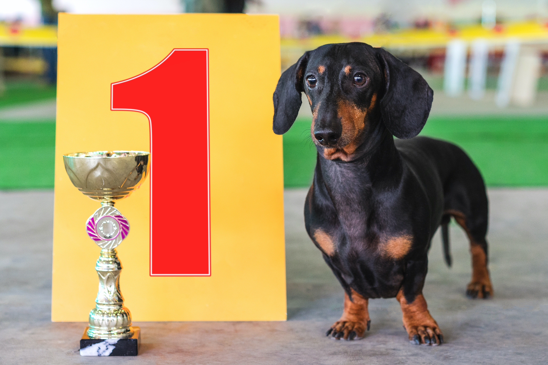 Canva - dog dachshund the winner of the exhibition, stand near the gold cup and the number one sign at an exhibition of dogs