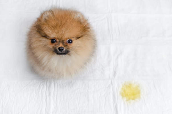 Canva - fluffy pomeranian puppy and urine puddle, view from above