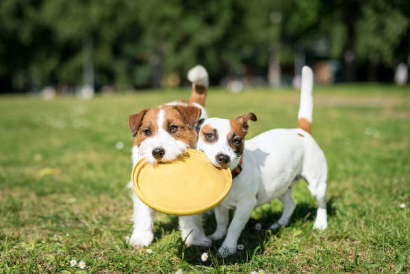 Canva - Two Jack Russell Terrier dogs