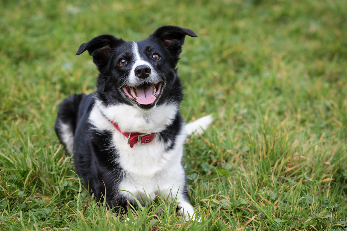 Canva - Border Collie