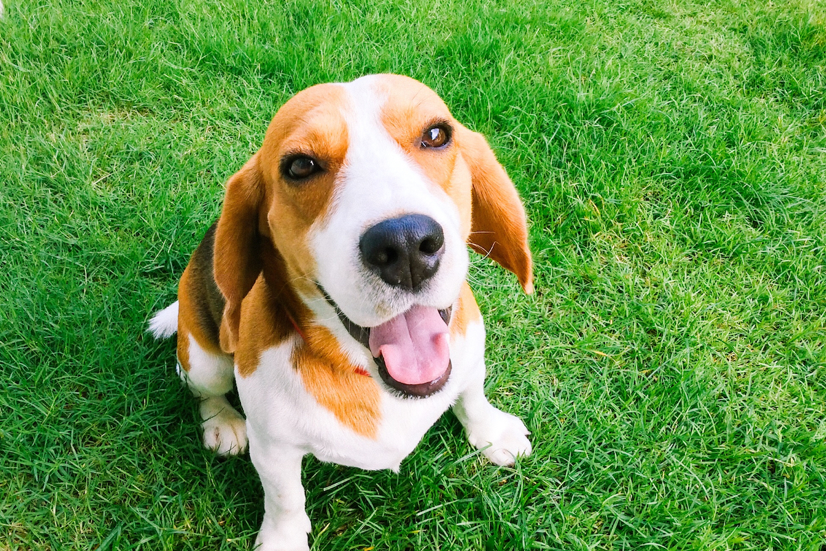 Canva - Beagle looking at a camera