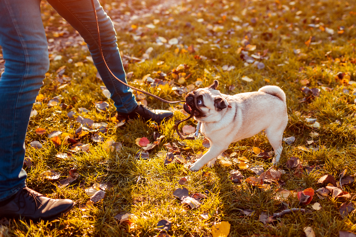 Canva - Master walking pug dog in autumn park. Puppy biting leash by man's legs refusing to go.