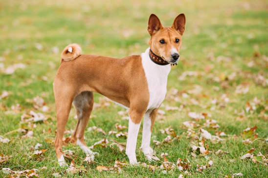 Canva - Basenji Kongo Terrier Dog. The Basenji Breed Of Hunting Dog