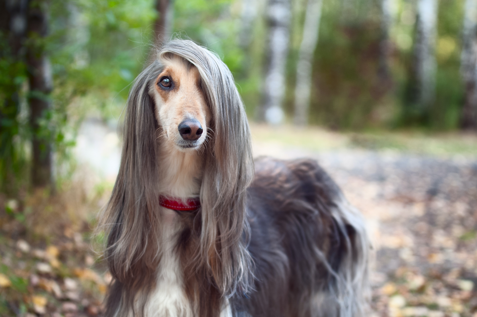 Canva - Smart dog Afghan hound with ideal data stands in the autumn forest and looks into the camera. A long bang closes her one eye. Picturesque portrait of a dog.