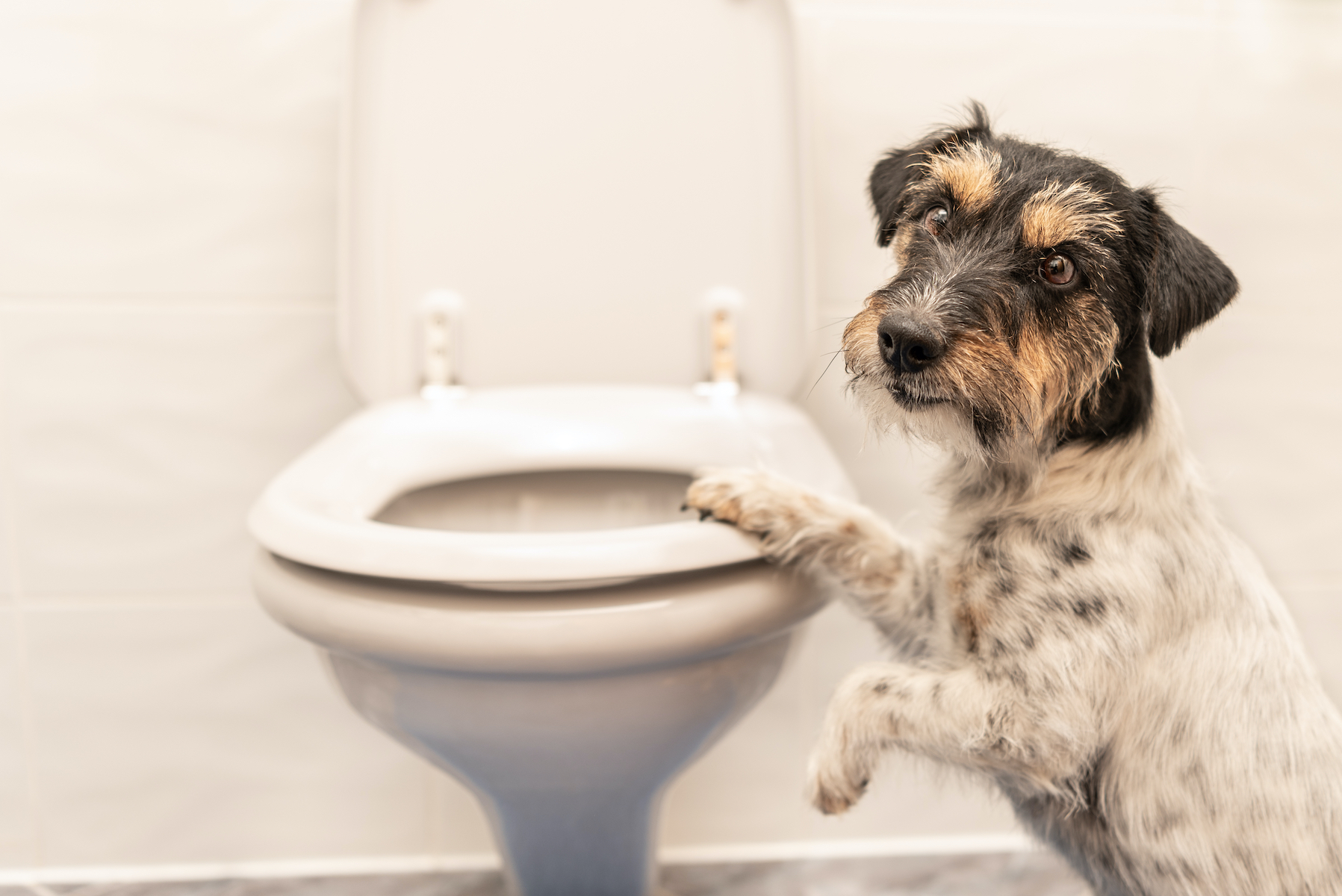 Canva - Dog on the toilet - Jack Russell Terrier