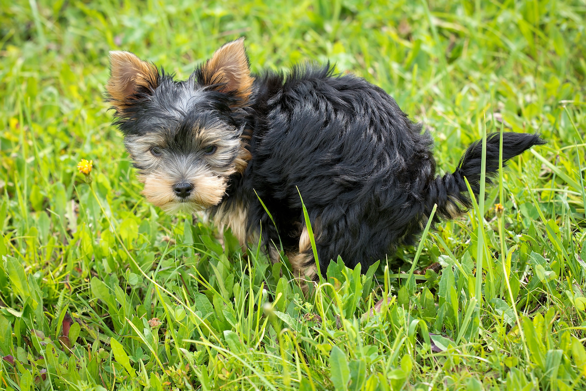 Canva - Yorkshire Terrier Puppy on Green Grass Field