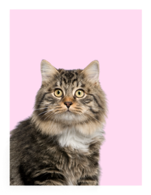 Cat on a pink background