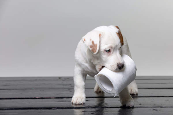 Canva - cute jack russel puppy playing with toilet paper