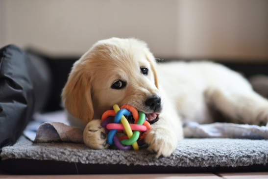 Canva - Golden retriever dog puppy playing with toy