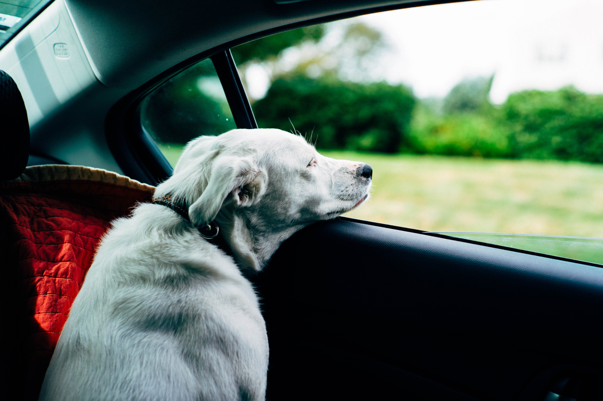 Canva - Dog in car