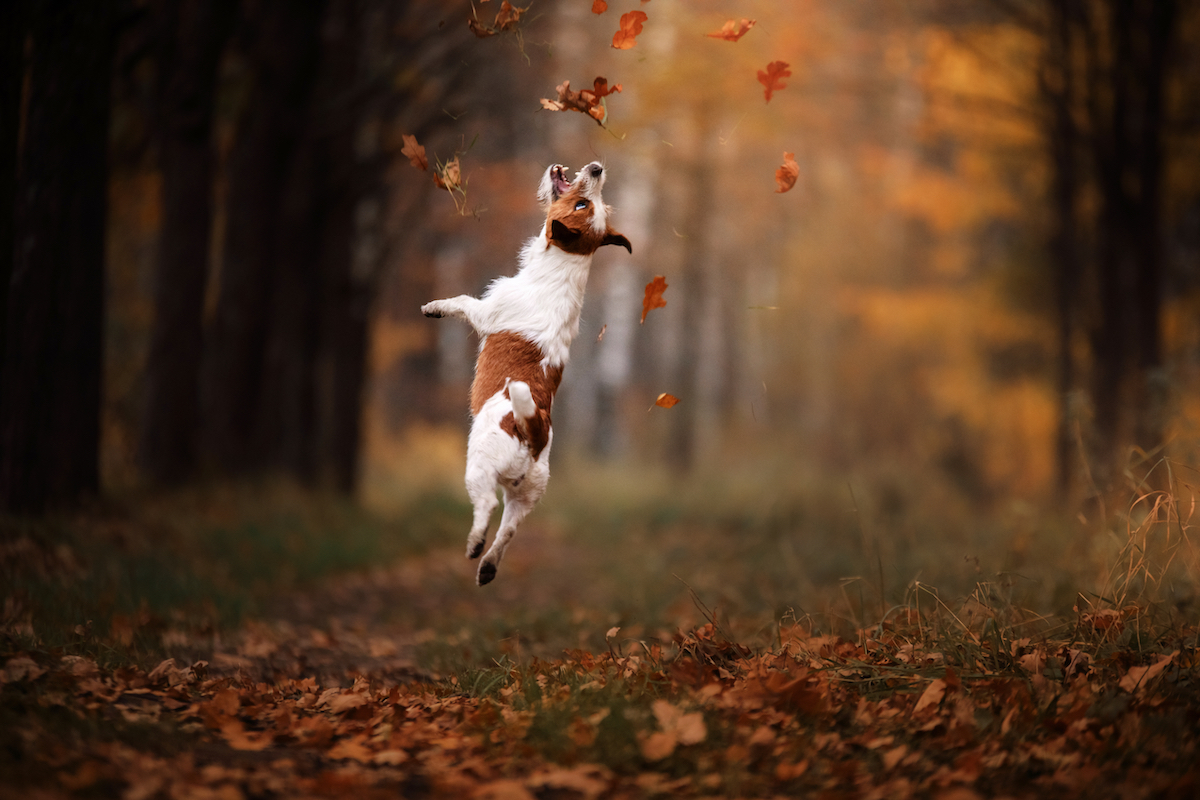 Canva - Dog Jack Russell Terrier jump