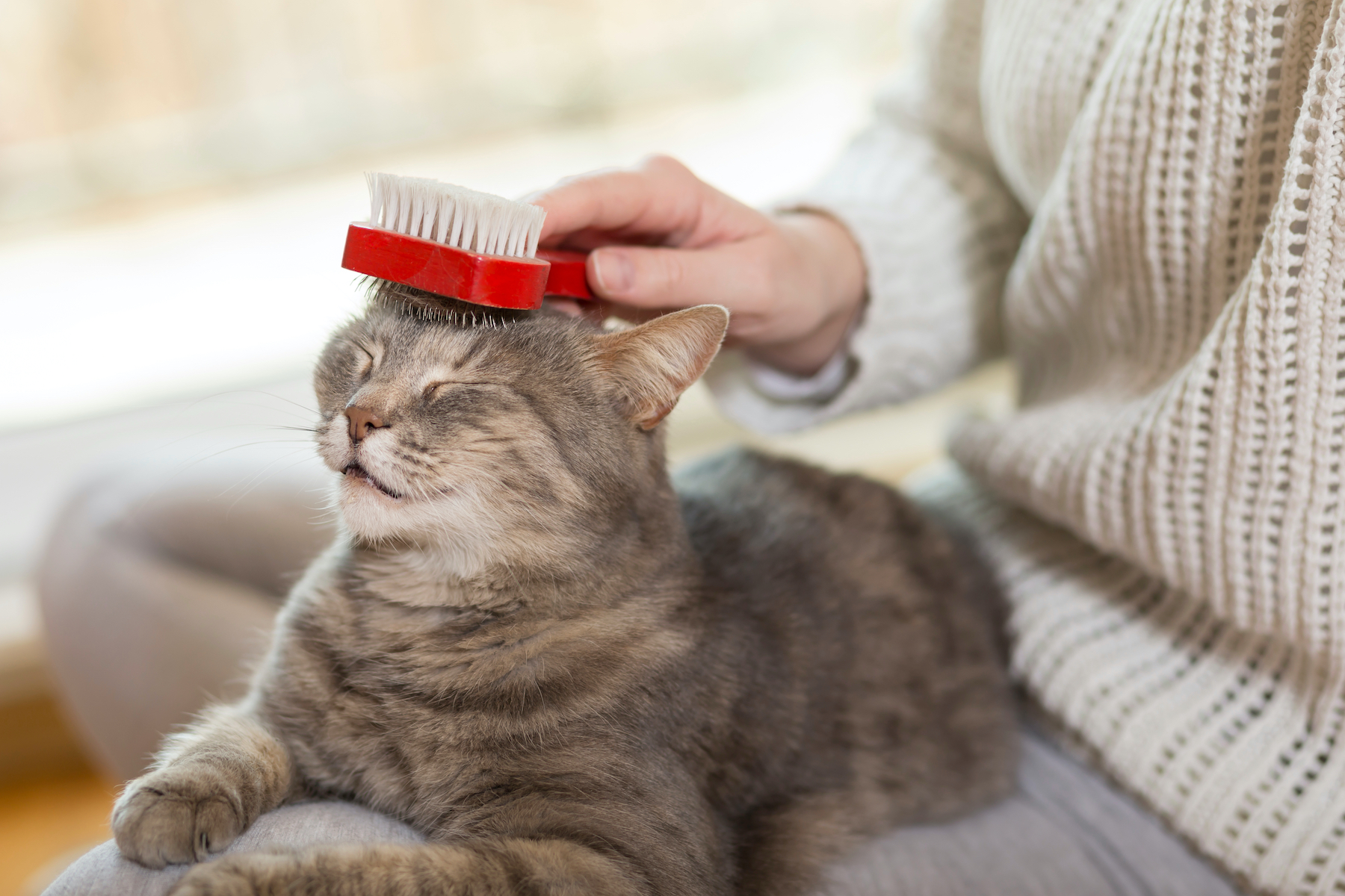 Canva - Cat brushing
