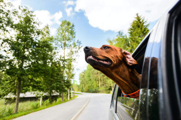 Canva - Ridgeback dog enjoying ride in car looking out of window