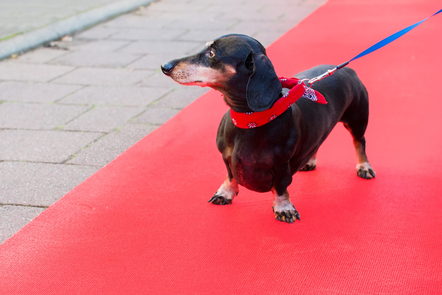 Canva - Dachshund at Red Carpet