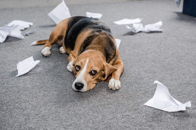 Do Dogs Feel Guilt?