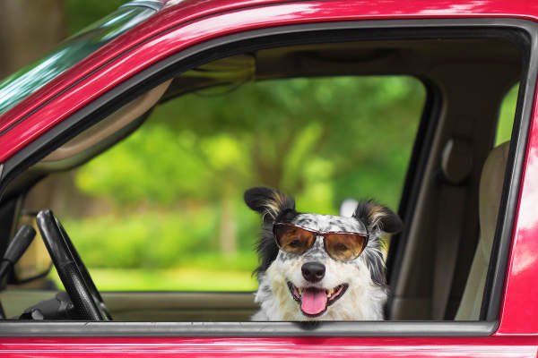 Canva - Dog in car wearing sunglasses
