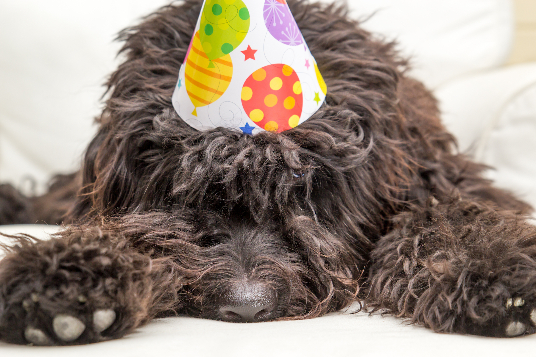 Canva - Black shaggy dog wearing a party hat